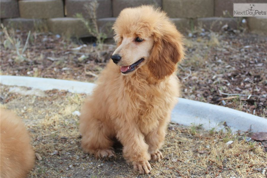 Cecil Poodle Standard Puppy For Sale Near Los Angeles