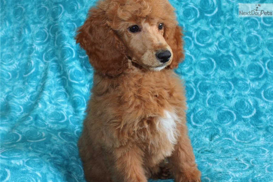 Angel Poodle Standard Puppy For Sale Near Los Angeles