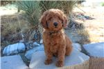 Picture of a Miniature Poodle Puppy