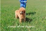 Picture of They Don't Come Much Cuter Than This Poodle Pup!