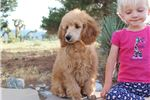 Picture of Ch Bred Moyen Pup With A Sweet, Sunny Personality!