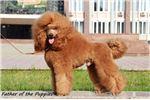 Picture of Champion Bred Apricot Moyen Puppy - Full AKC!