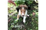 Picture of Sable and white male rough coat collie puppy