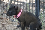 Picture of BELGIAN MALINOIS PUPPY, DARK SABLE.