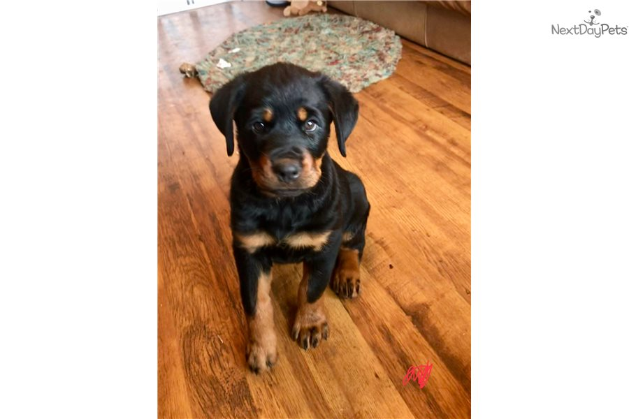 Rottweiler History And Health Temperament Personality