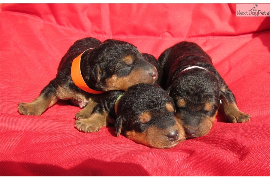 Airedale Terrier Puppy For Sale Near Montgomery Alabama 43b4425d 9131