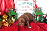 Picture of Sissy - Milk Chocolate Chihuahua Beauty!
