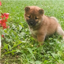 View full profile for Fox Den Shiba Inu Kennel & Stud Service