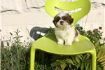 Picture of ADORABLE SHIH TZU