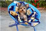 Picture of Small Yorkie Pup - Male