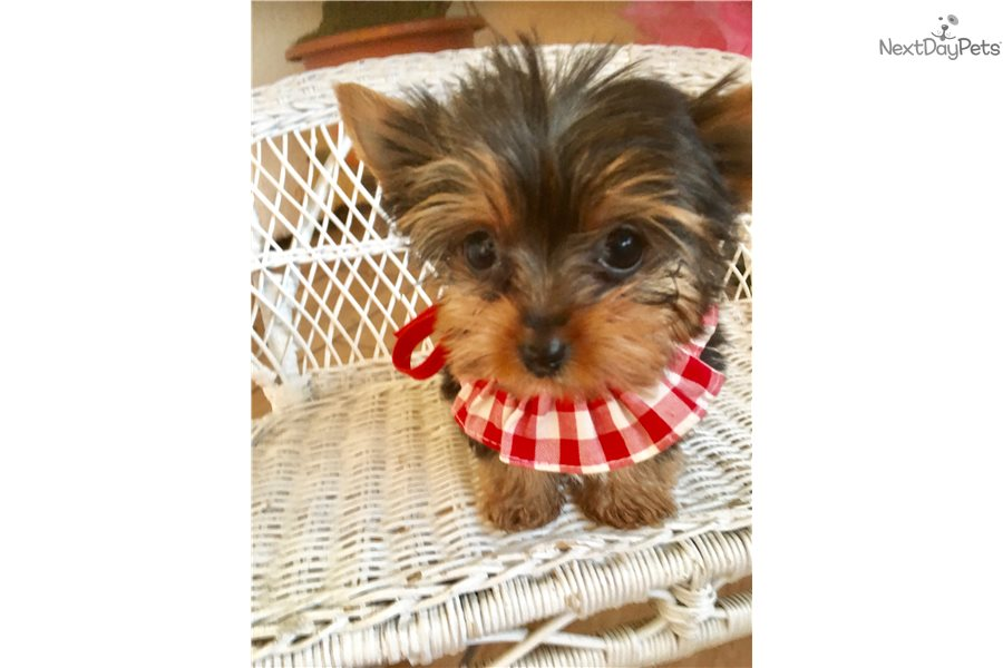 Minnie Yorkshire Terrier Yorkie Puppy For Sale Near Los Angeles