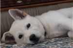 Picture of Jindo White raised in San Diego