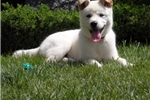 Picture of Jindo White raised in San Diego.