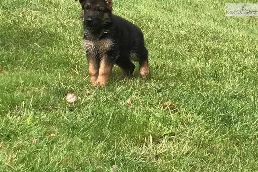 Green Collar German Shepherd Puppy For Sale Near Maine B9ac98df De91