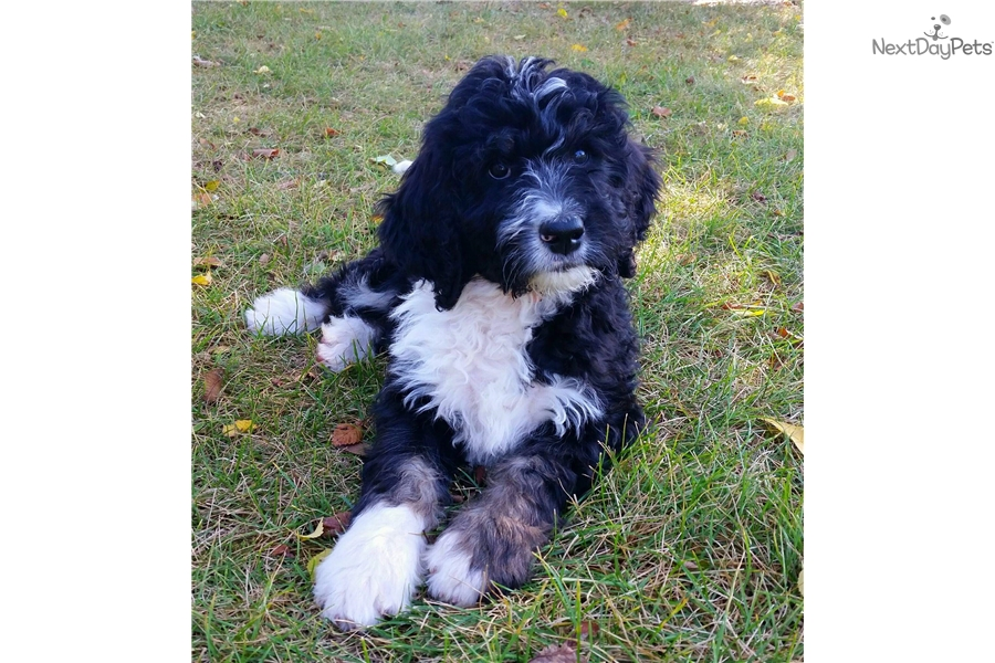 Bernedoodle Boy: Mixed/Other puppy for sale near Rochester