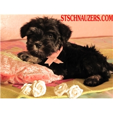 View full profile for San Tan Schnauzers