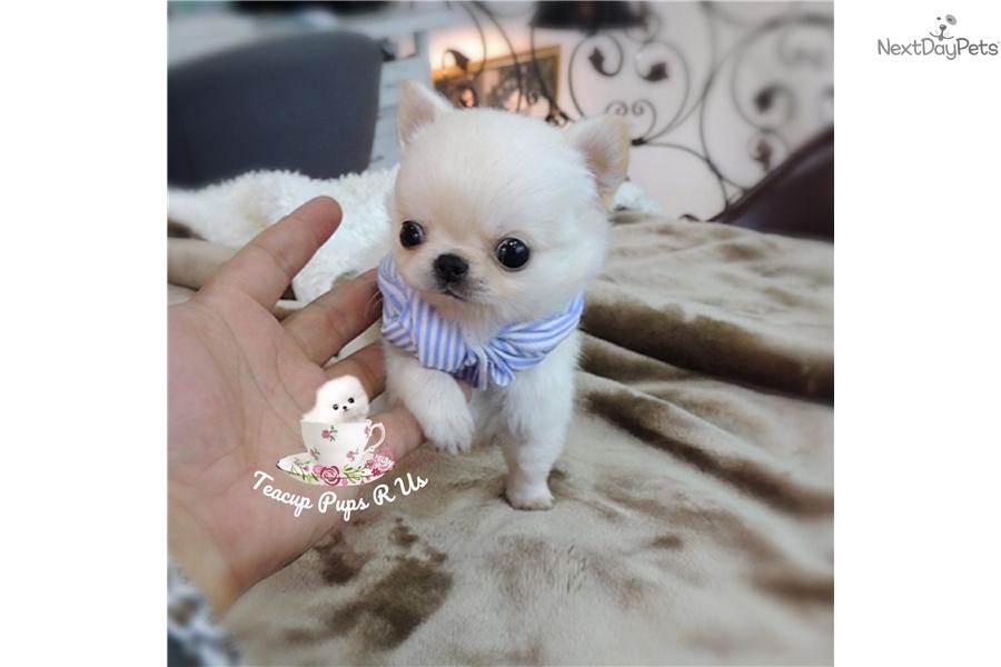 Nemo: Chihuahua puppy for sale near San Antonio, Texas