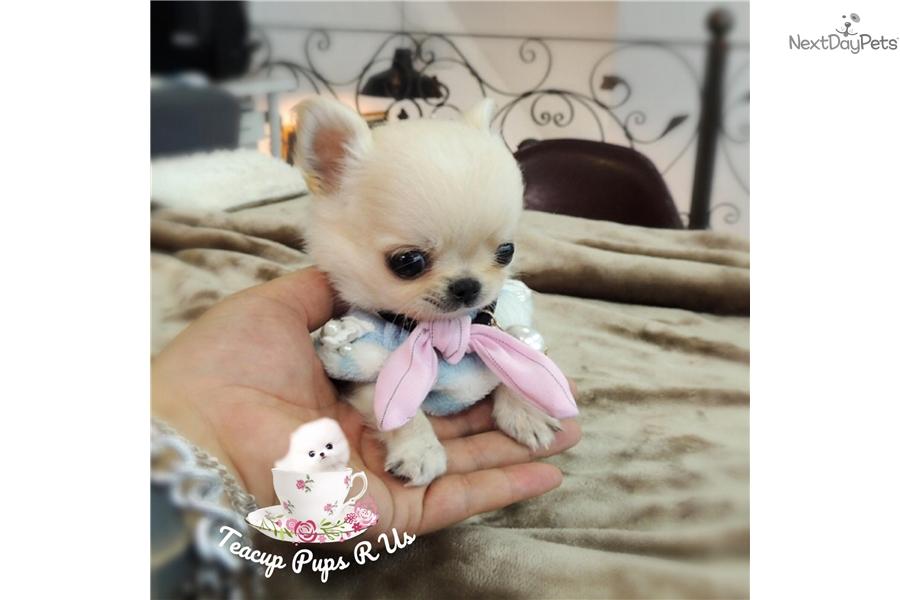 Magoo: Chihuahua puppy for sale near San Antonio, Texas | 06f03744-8931
