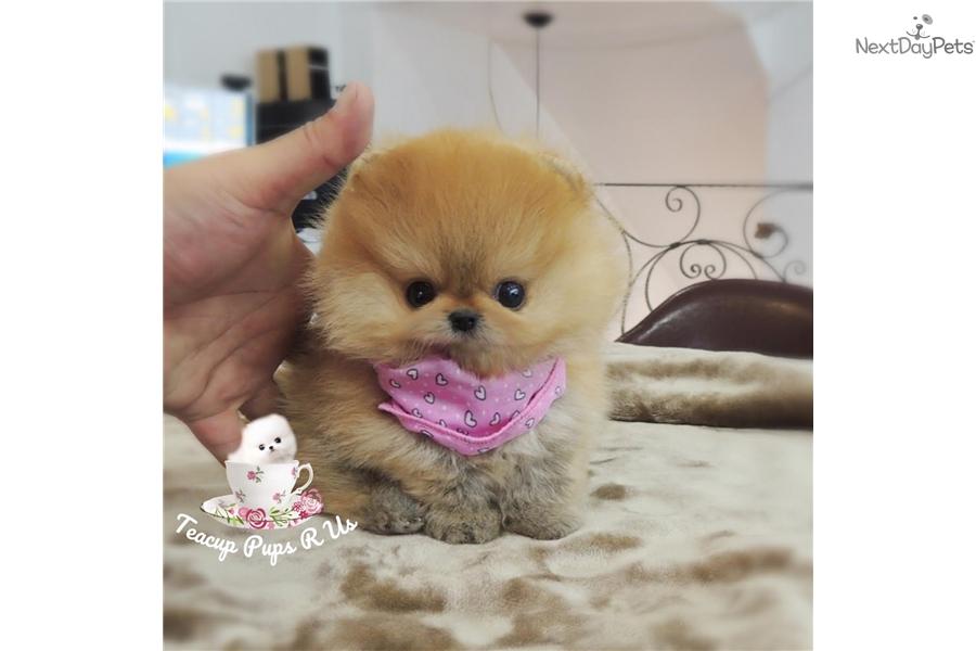 Pumpkin: Pomeranian puppy for sale near San Antonio, Texas