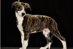 Picture of AKC Male Black Brindle w White Socks Whippet Puppy