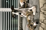 Picture of AKC Male Red Brindle w/ White Socks Whippet Puppy