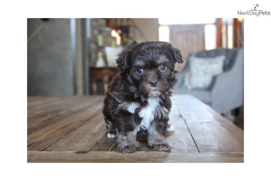Hannah: Havanese puppy for sale near Little Rock, Arkansas ...