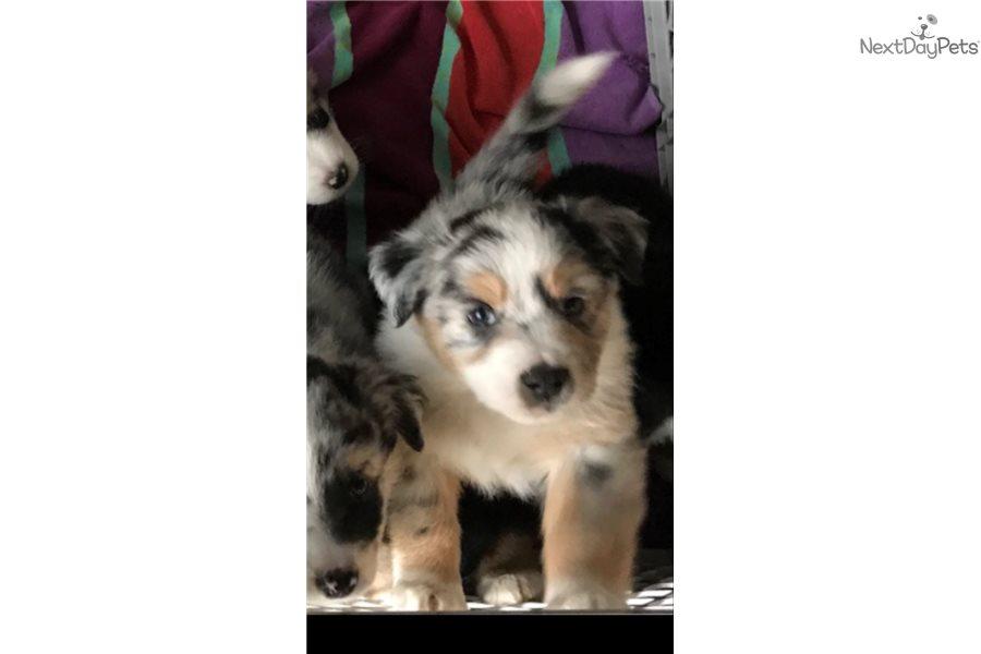 Australian Shepherd puppy for sale near Eugene, Oregon | 35b3fab4-7961