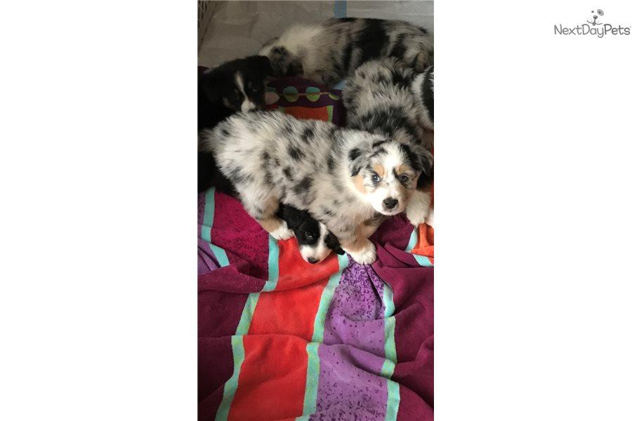 Australian Shepherd Border Collie Mix Puppies For Sale Oregon