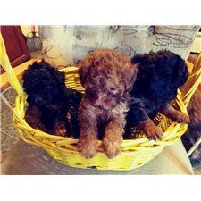 View full profile for Koutny's Poodles