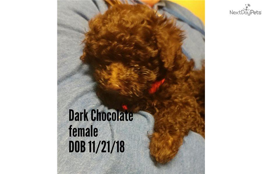 Poodle Miniature Puppy For Sale Near Cincinnati Ohio