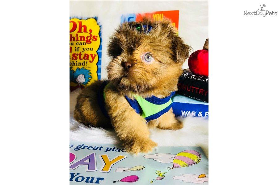 Shih Tzu Puppy For Sale Near Houston Texas 0ce947a2 F771