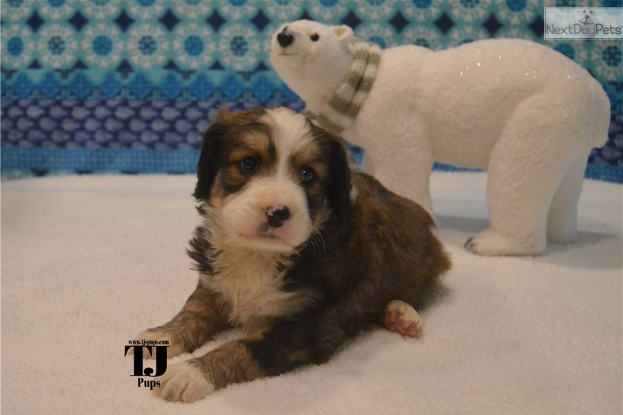 Bernedoodle Puppy For Sale Near Dallas Fort Worth Texas