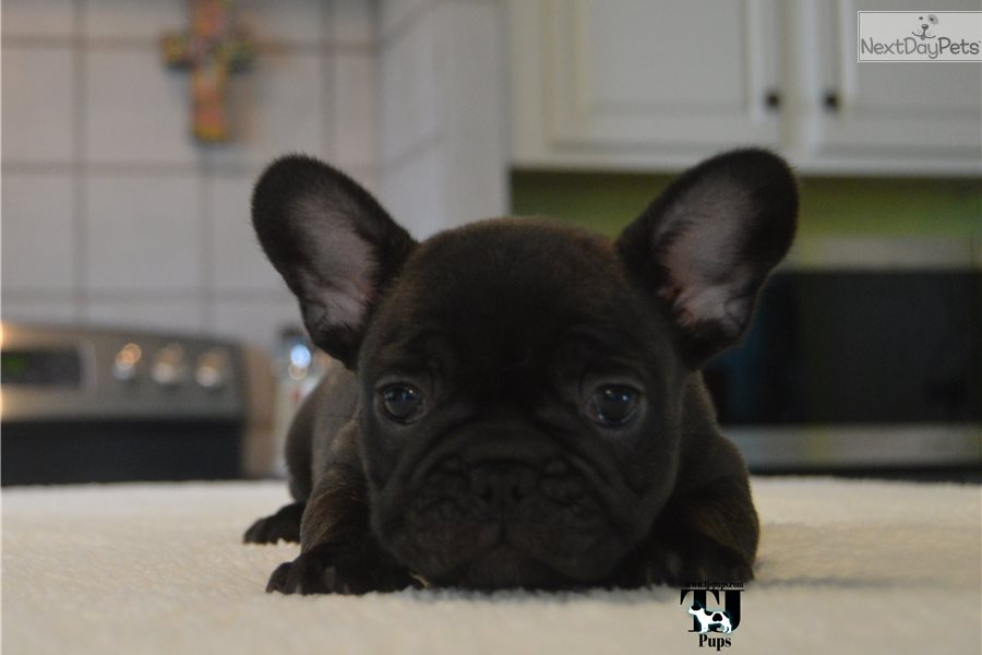 french bulldog dallas tx french bulldog puppy for sale near dallas fort worth 1084