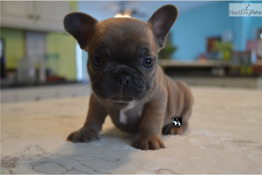 french bulldog dallas tx french bulldog puppy for sale near dallas fort worth 7274