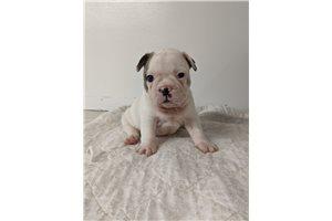 TJ - French Bulldog for sale