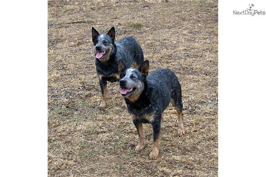 Mysty Australian Cattle Dogblue Heeler Puppy For Sale Near
