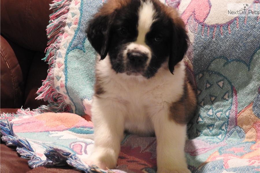 Saint Bernard - St  Bernard puppy for sale near Logan, Utah