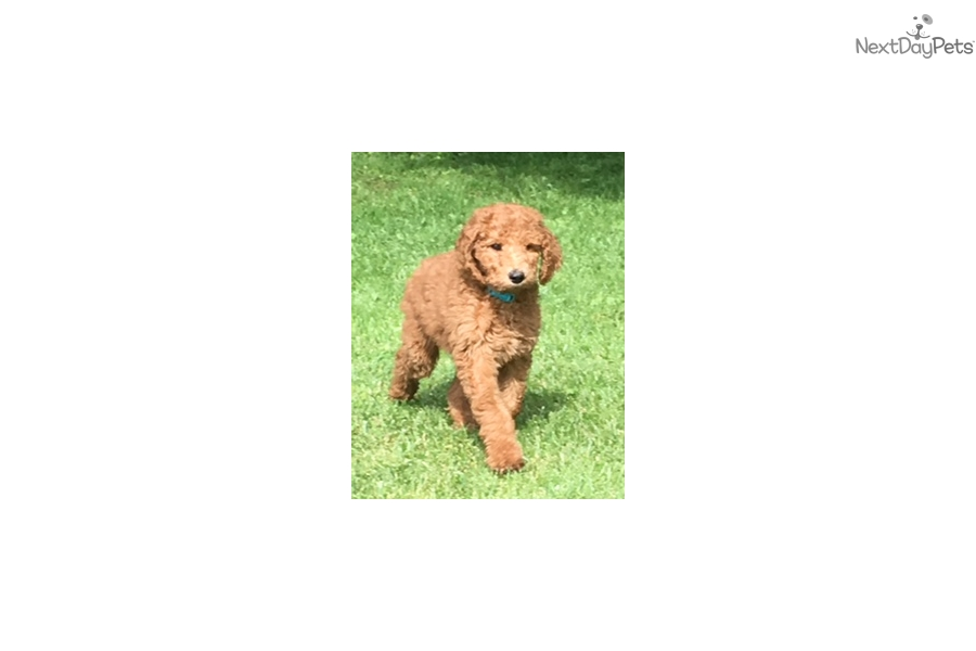 Red Male: Poodle, Standard puppy for sale near Mansfield