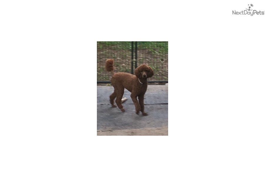 Red Female: Poodle, Standard puppy for sale near Mansfield