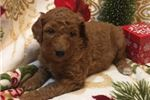 Picture of Female Standard Poodle Puppy for sale in Ohio