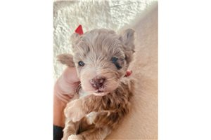 Picture of Toy Schnoodle