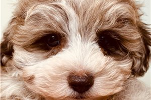 Picture of Toy Schnoodle R