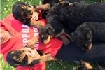 Picture of Blackarrows Terriers