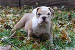 Picture of Beautiful bulldog