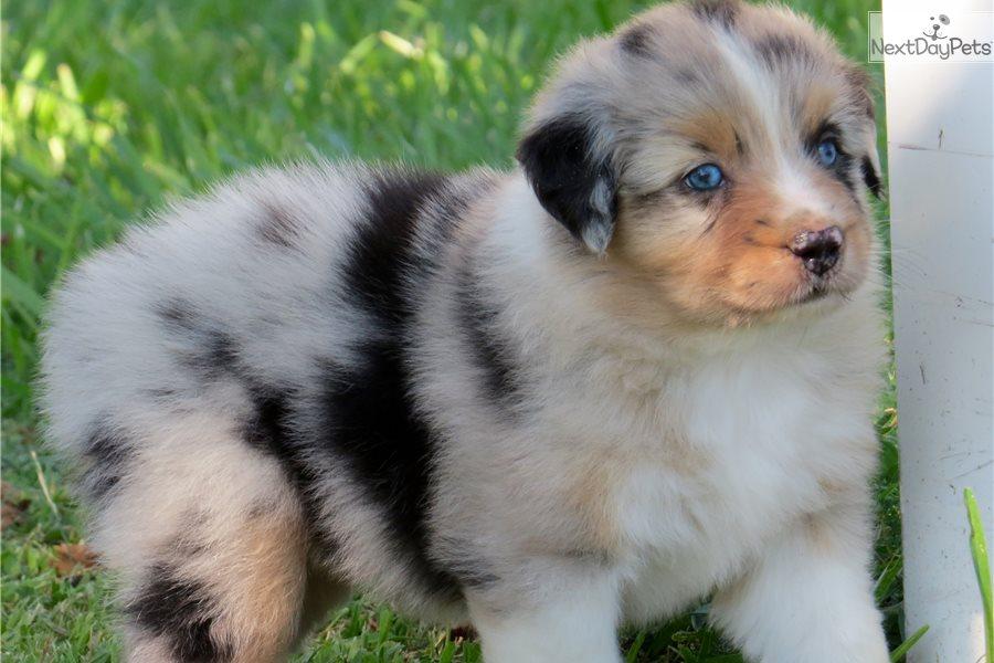 Australian Shepherd Puppy For Sale Near Houston Texas Ffc5cca0 31d1
