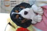 Picture of Champion Designer Breed Beagliers