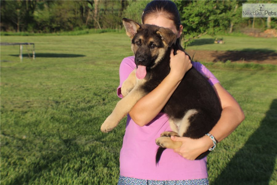 Violet: German Shepherd puppy for sale Near Me In Poland