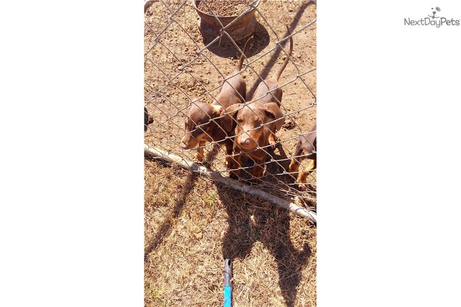 Bad Max Doberman Pinscher Puppy For Sale Near Montgomery Alabama