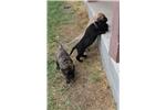 Picture of Black AKC registered bullmastiff female