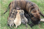Picture of Brindle AKC registered male bullmastiff